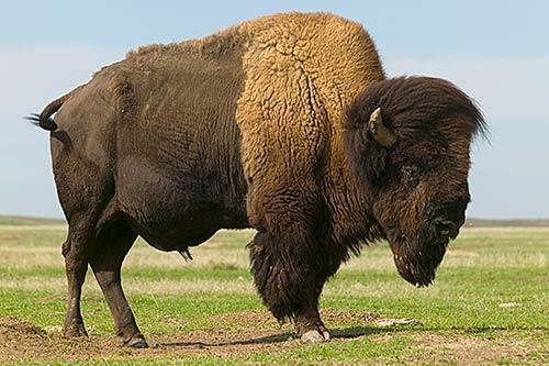 bison-i