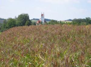 Braunhirseanbei vor Ort bei Biobauer Beck aus Obergolding